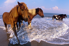 Ponies in the surf at Assateague by Worcester County Tourism