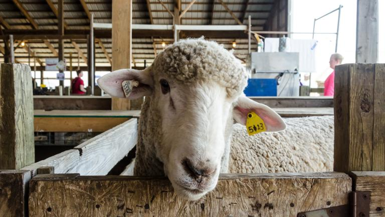 A sheep peaking from a stall at the Maryland Sheep and Wool Festival