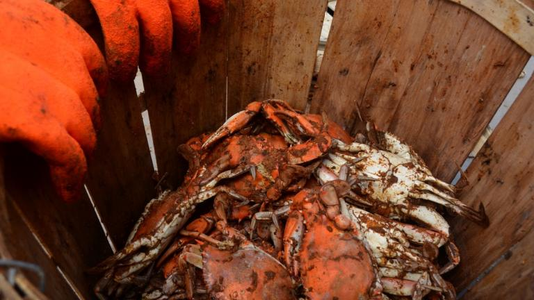 Basket of Crabs at CBMM