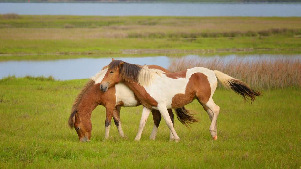 Assateague's famous wild ponies live in bands of two to twelve animals. They may allow you to get very close, but they are wild animals, so maintain a minimum of 10 feet distance at all times.
