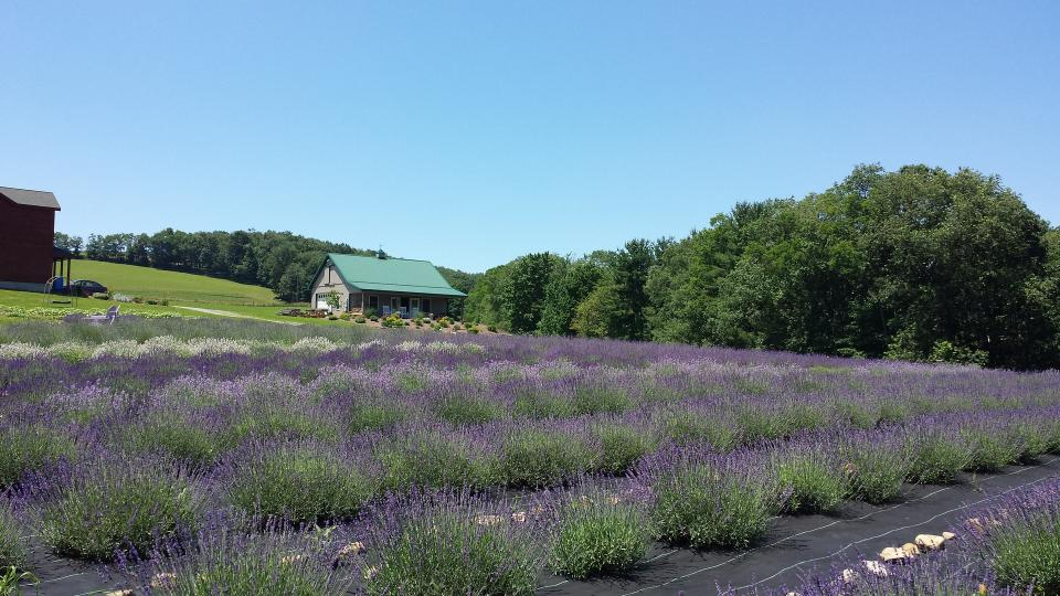 Farm house and lavender field