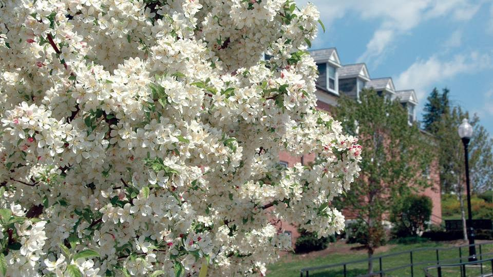 Blossoming tree on Frostburg University campus