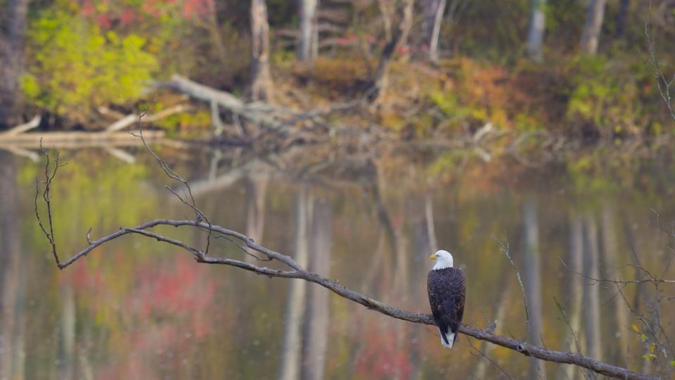 Eagle sitting on branch at Rocks State Park