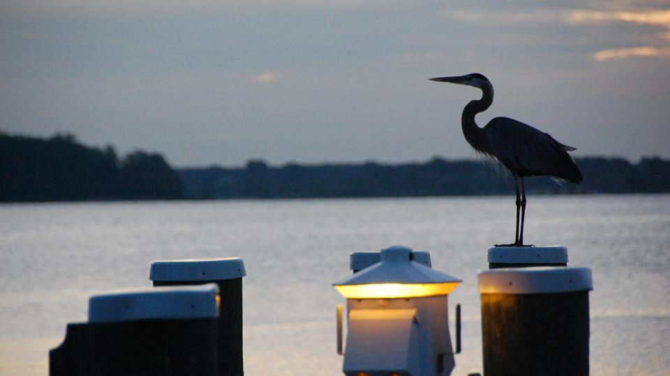 Heron on docks