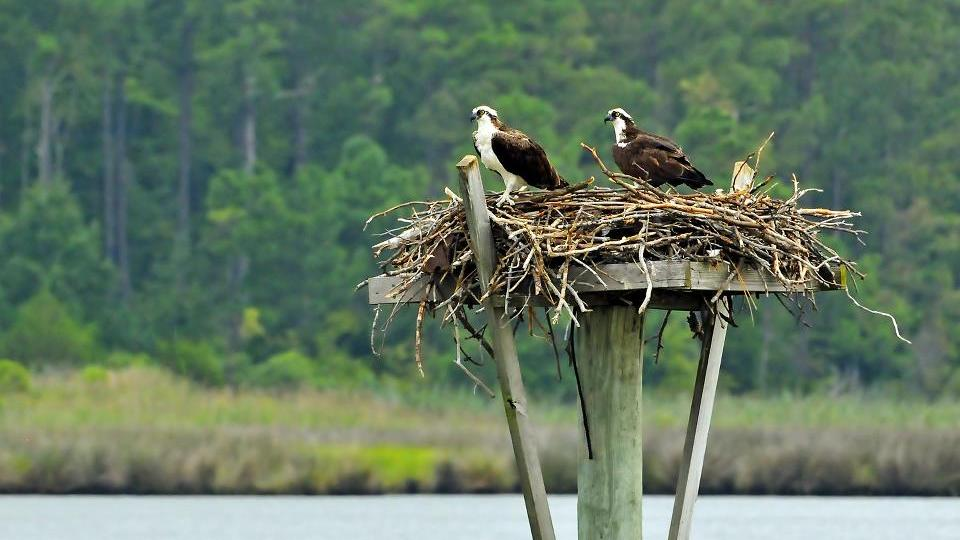 Pair of ospreys on St.George Island