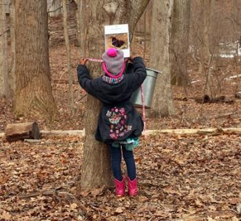 Young girl looking into maple tree sap bucket. Photo