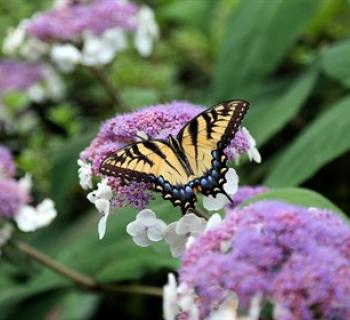 Yellow and black butterfly on pink and white flower. Photo