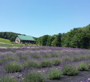 Deep Creek Lavender Farm Photo