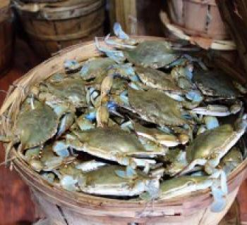 Bushel of blue crabs harvested by Southern Maryland watermen Photo