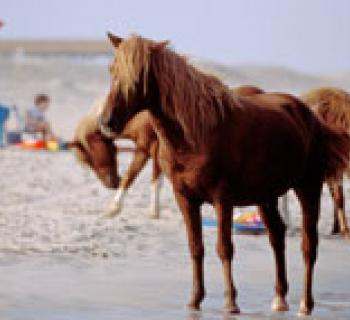 Ponies on the beach at Assateague State Park Photo