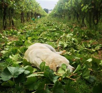A Dog laying in the trimmed branches of the vineyard. Photo