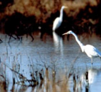 Egrets in water photo Photo