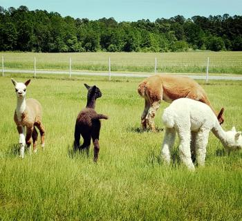 Alpacas located on Outstanding Dreams Farm Photo