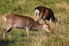 Exotic sika deer