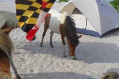 Assateague ponies next to tent