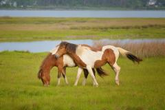 Assateague's famous wild ponies live in bands of two to twelve animals.