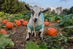 baby goat in pumpkin patch
