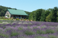 Lavender fields and farm house