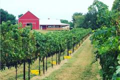 red barn and vinyard