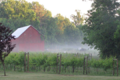 grape vines and red barn in mist