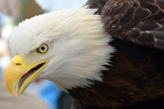 Bald Eagle at Black Water Wildlife Festival
