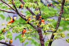 Baltimore Orioles in tree