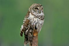Barred Owl at Bumpy Oak Swamp