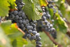 Grapes at Black Ankle Vineyards