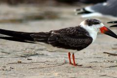 A Black Skimmer on a beach