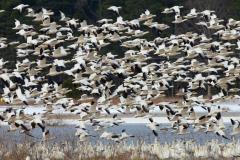 Snow Geese at Blackwater National Wildlife Refuge