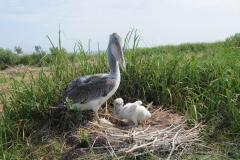 Brown Pelican with a chick in a nest at Smith Island