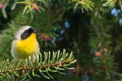 Maryland Yellowthroat