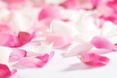 rose pettals