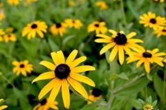 Black-eyed Susans in a Garden