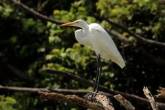 The Great Egret is seen often at Papermill Flats at Loch Raven Reservoir