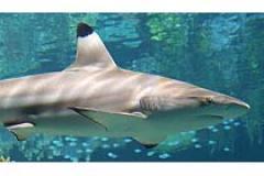 Blacktip Reef Shark reside at the National Aquarium