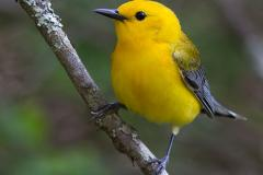 small yellow bird with grey wings
