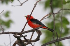 Scarlet Tanager at the Patuxent Wildlife Refuge