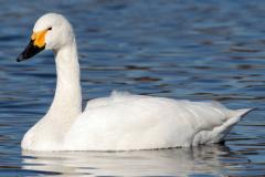 A Tundra Swan swimming