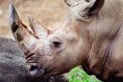 Maryland Zoo White Rhino