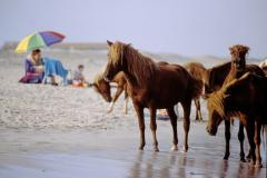 Wild Ponies on Assateague Island National Seashore