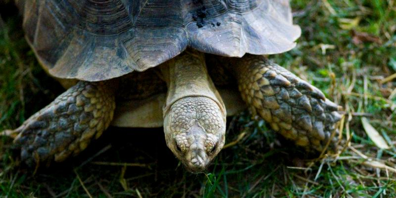 Plumpton Park Zoo in Rising Sun displays a variety of unusual wildlife, including this African sulcata tortoise.