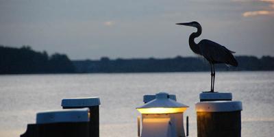 Heron on docks