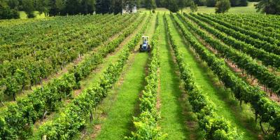The vineyards at Fiore Winery in Pylesville